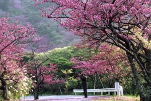 八重岳-桜